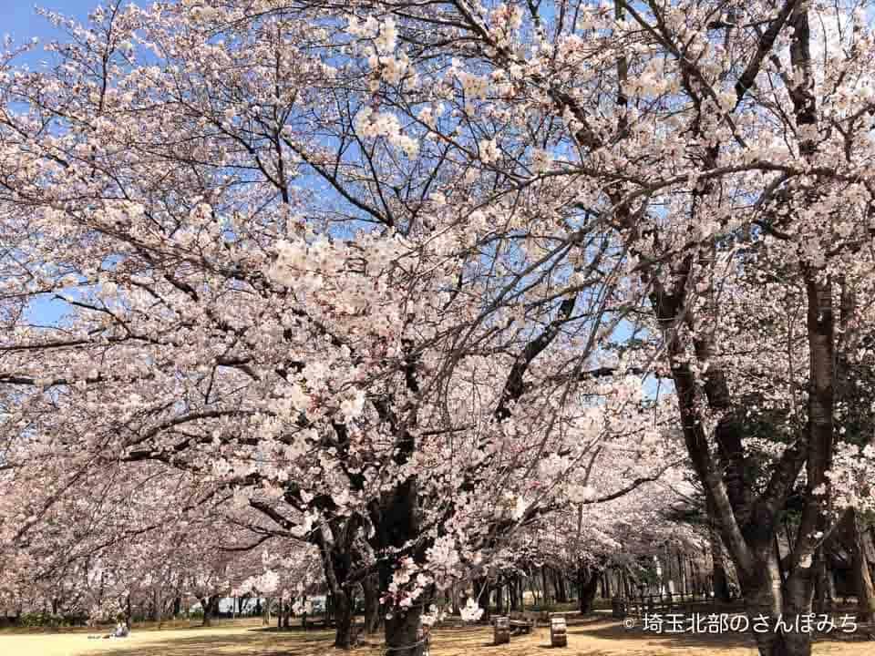 農林公園広場の桜満開