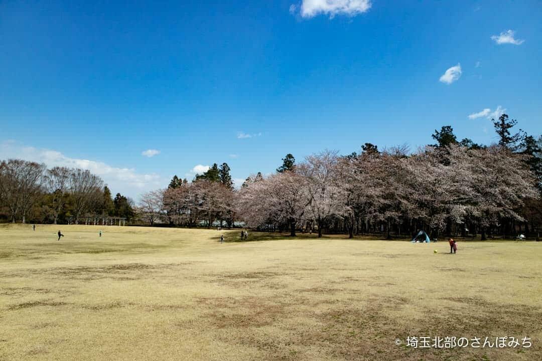 深谷・農林公園の広場の桜