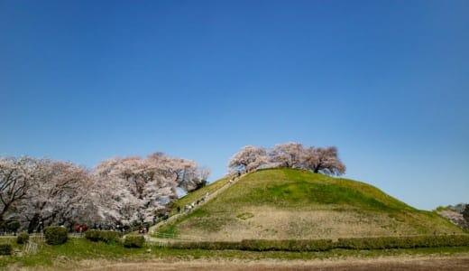 さきたま古墳公園の桜(広場から)