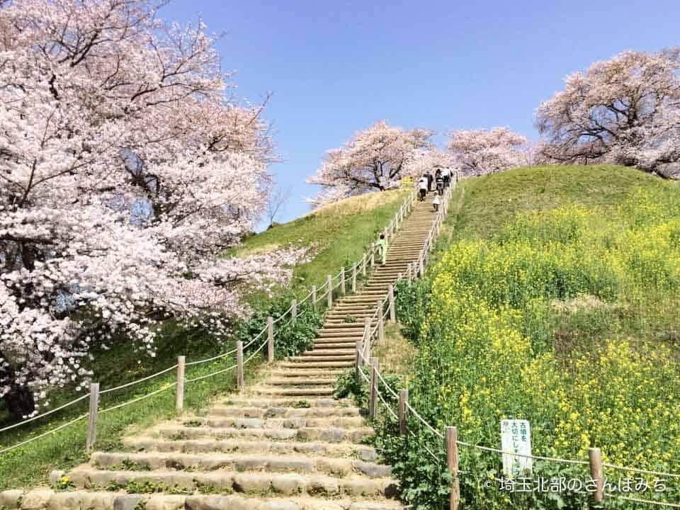 さきたま古墳公園の桜(丸墓山古墳)