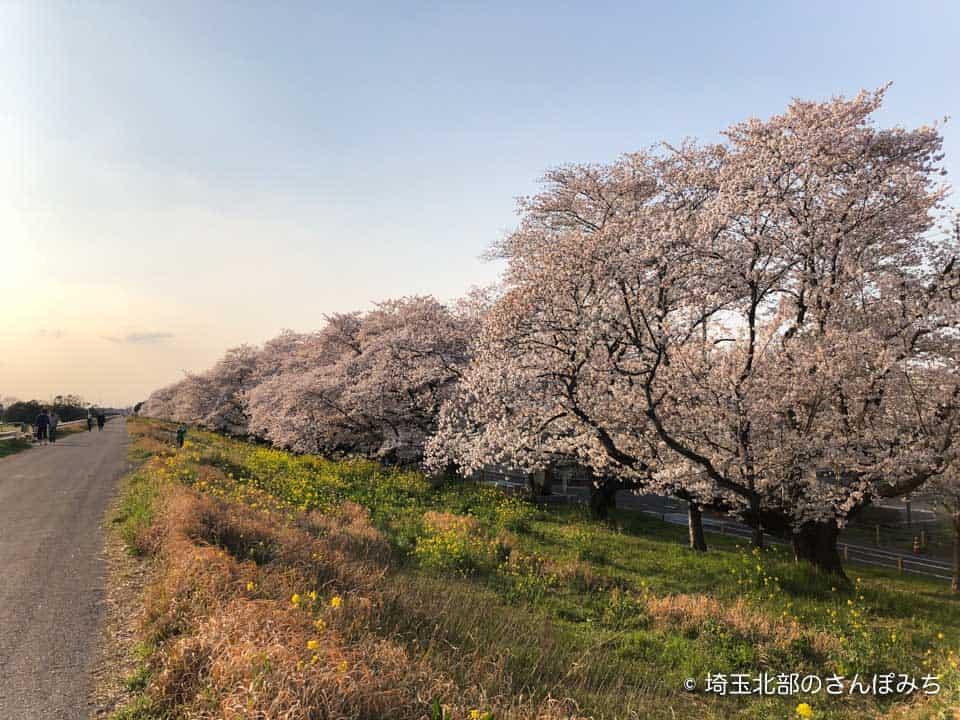 熊谷桜堤の桜並木(2020)