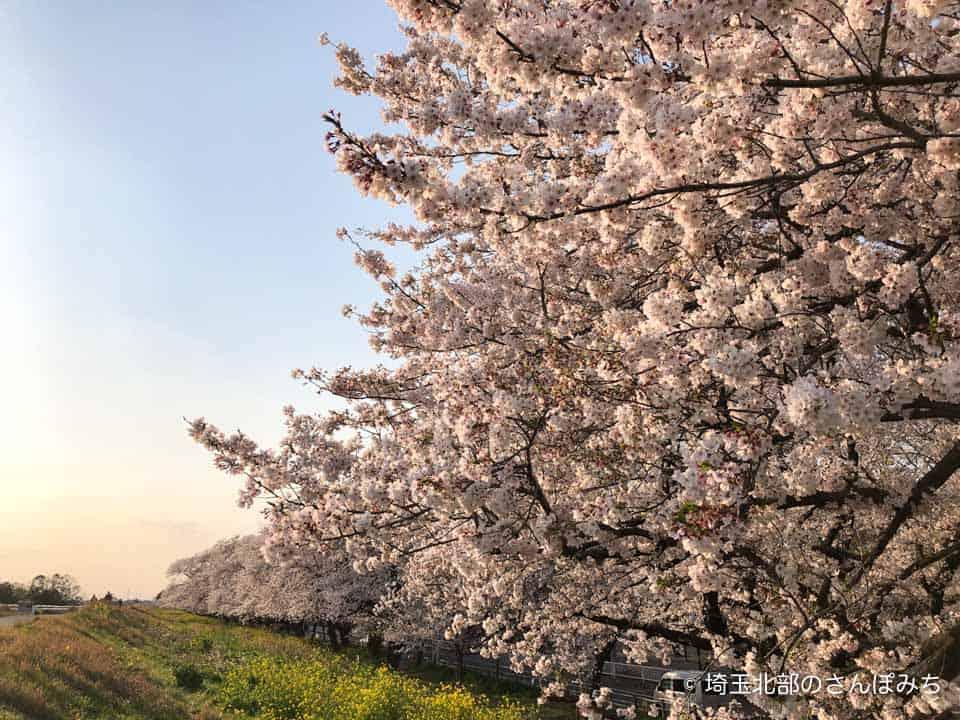 熊谷桜堤の桜(2020)