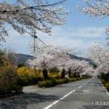 長瀞の桜名所「北桜通り」見頃・開花時期・駐車場を紹介