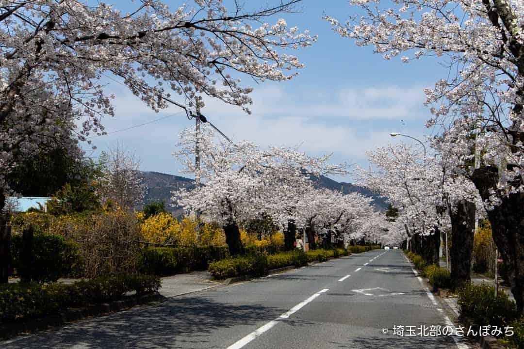 長瀞・北桜通りの桜並木