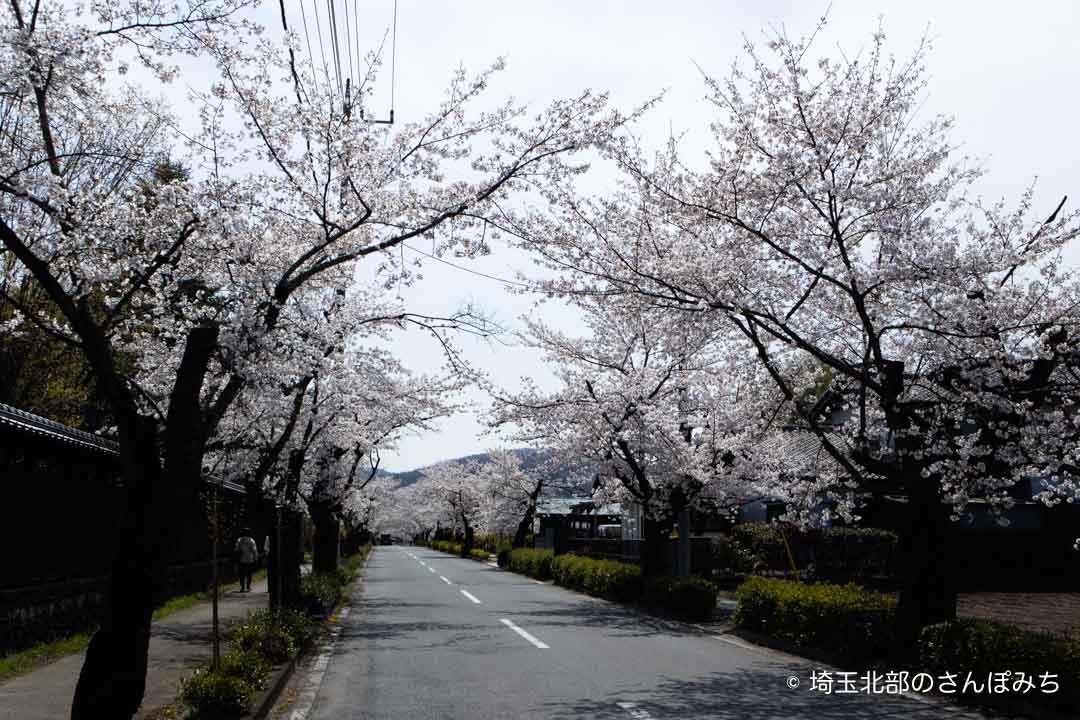 北桜通りの桜並木長瀞駅方面