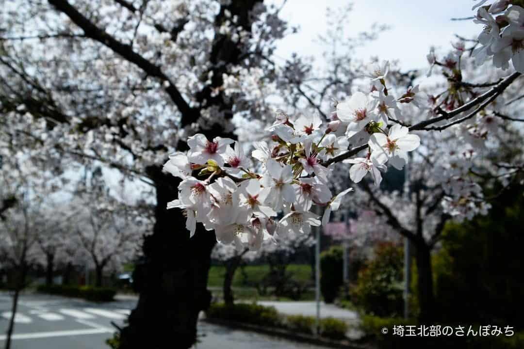 長瀞・北桜通りの桜