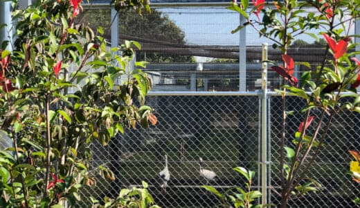 鴻巣市コウノトリ飼育施設のコウノトリ2羽