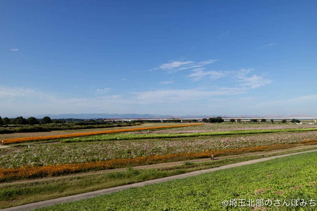 鴻巣・荒川河川敷のコスモス畑(土手から)