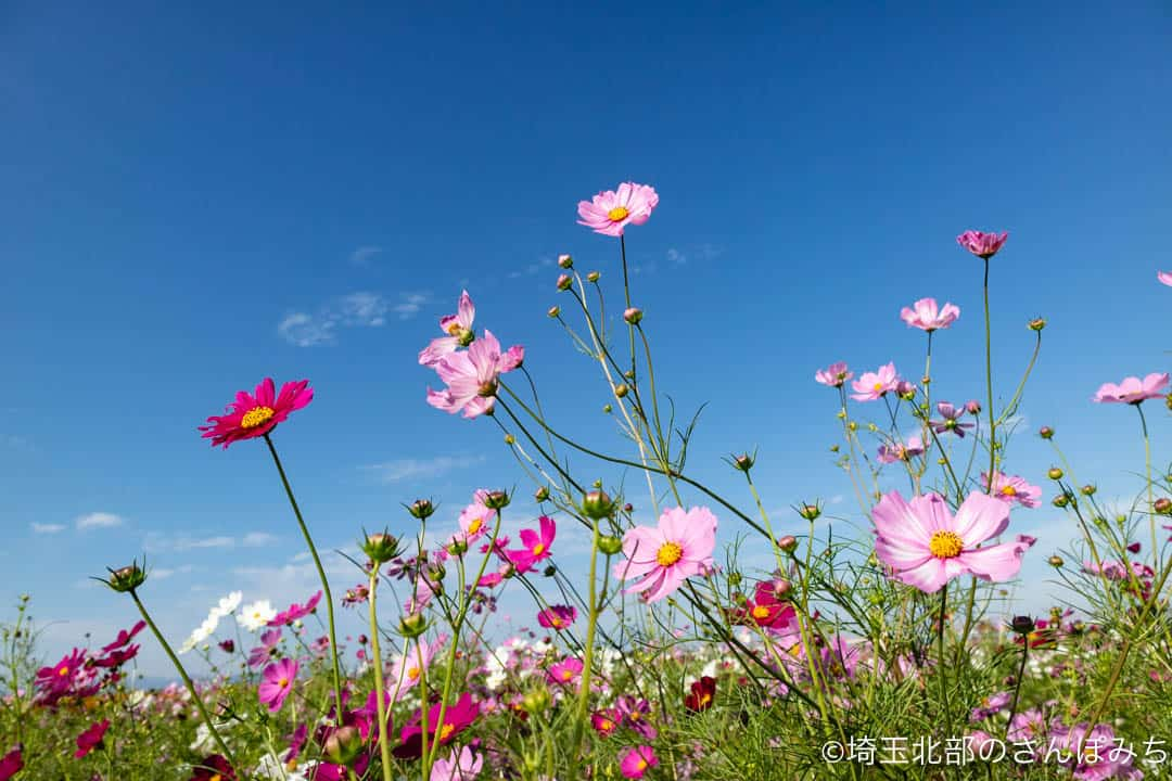鴻巣・荒川河川敷のコスモス畑(ピンク)