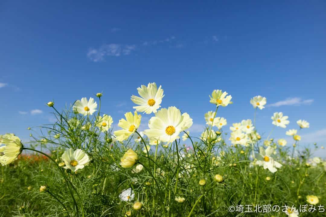 鴻巣・荒川河川敷のコスモス畑(薄黄色)